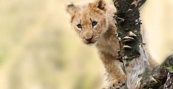 Cute lion cub peering around a tree. Link to list of featured journeys.