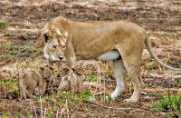Mum with her cubs - by M Martin Photo Contest 2017 Honourable Mention