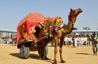 Camel Cart at the Pushkart Fair - by V Pavlicic Photo Contest 2017 Honourable Mention