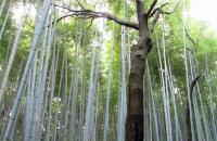 Bamboo forest by Bonnie Saveall (in a forest in the outskirts of Kyoto, Japan)
