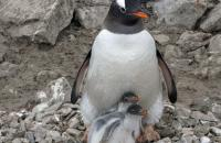 Damoy Point, Antarctica - Gentoo Family by Diane Hay