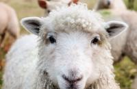 There are more sheep in Ireland than humans
