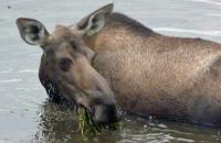 A young female moose in Alaska...grazing at the bottom of a pond.