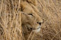 Lion in South Africa by M. Martin Photo Contest 2017 Honourable Mention