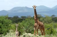 Mother and Baby Giraffe in East Africa by W. Yurko Photo Contest 2017 Honourable Mention