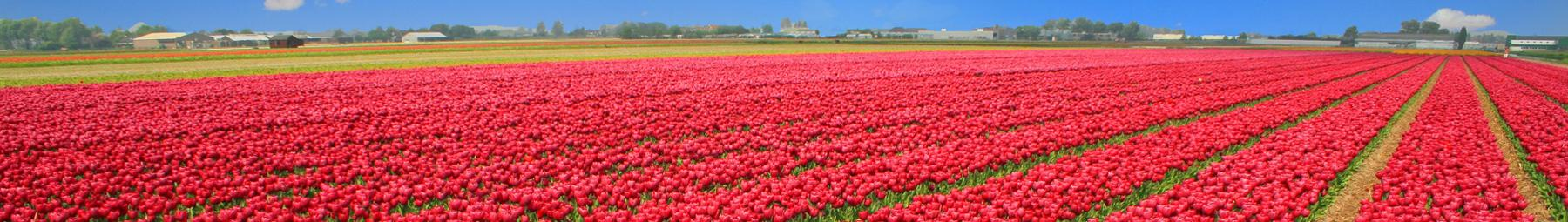 Massive field of tulips in full bloom, Holland.